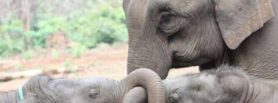 大象可受益于拥有年长的兄弟姐妹