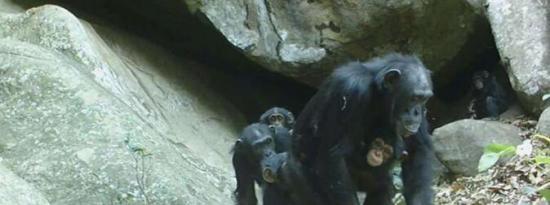 稀树草原挑战对黑猩猩行为的先入为主的观念