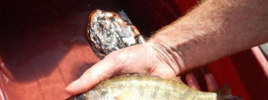 非本地鱼类是水库中鲑鱼的主要消费者