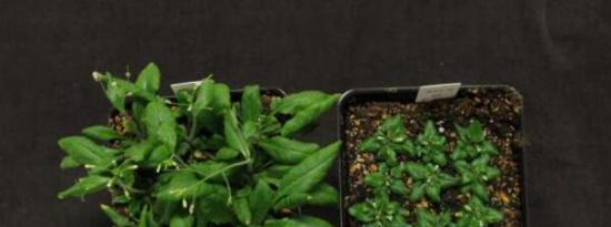 科学家鉴定植物油积累所必需的甾醇